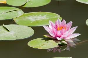 Centre La Fleur de Vie 95590 Presles (Fotolia water-lily-394076_1280)